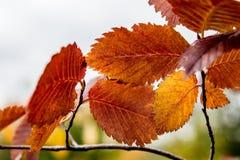 Färgrika sidor för höst av almen Arkivfoton