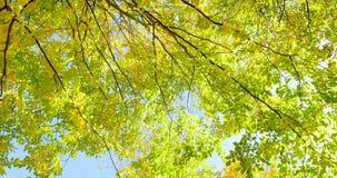 Färgrika sidor för höst på trädfilial Bästa sikt av träd, rörande kamera close upp arkivfilmer