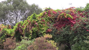 Färgrika sidor för rankaklättrareväxt växer i botanisk trädgård arkivfilmer