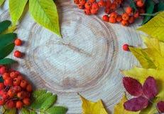 Färgrika sidor för våt höst och rönnbär på en cirkelsåg c royaltyfria bilder