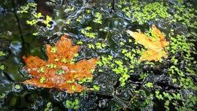 Färgrika sidor och alger på vattnet av ett damm i Wisconsin royaltyfria bilder
