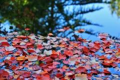 Färgrika sidor på hösten, VanDusen botanisk trädgård, i stadens centrum Vancouver, British Columbia Arkivbild