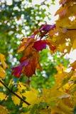Färgrika sidor på trädet Royaltyfri Foto