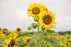 Färgrika solblommor Royaltyfri Fotografi