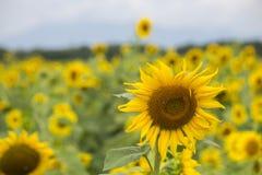 Färgrika solblommor Arkivfoto