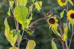 Färgrika steglits på mogna solrosor Arkivbilder