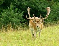 Färgrika stora träda-hjortar med stora horns, manlig i ett gräs sätter in, tätt upp, doen, trevligt wild djur i grön bakgrund, nat Arkivfoton