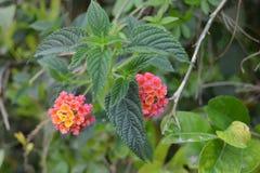 Färgrika Tagetes blommor Arkivfoton