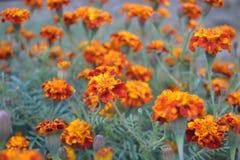 Färgrika Tagetes blommor Royaltyfria Bilder