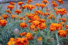 Färgrika Tagetes blommor Fotografering för Bildbyråer