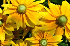 Färgrika Tithonia är liknande till solrosen royaltyfri foto