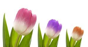 färgrika tre tulpan Royaltyfri Fotografi