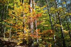 färgrika trees för höst Höstlandskapbakgrund Royaltyfri Bild