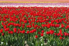 Färgrika Tulip Field Background fotografering för bildbyråer