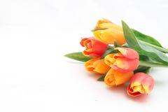 färgrika tulpan Royaltyfri Foto