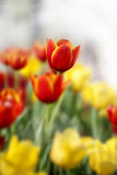 färgrika tulpan Fotografering för Bildbyråer