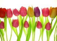 färgrika tulpan Royaltyfri Fotografi