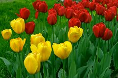 färgrika tulpan Royaltyfria Bilder