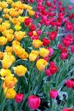 färgrika tulpan Royaltyfria Foton
