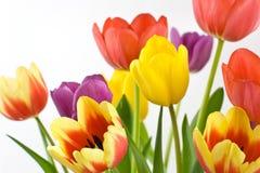 färgrika tulpan för grupp Arkivbild