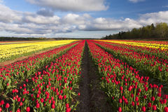 Färgrika tulpan i blom Arkivfoto