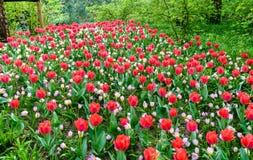 Färgrika tulpan på Keukenhofen, Nederländerna Royaltyfri Bild