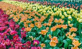 Färgrika tulpan på Keukenhofen, Nederländerna Royaltyfri Foto