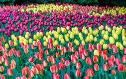 Färgrika tulpan på Keukenhofen, Nederländerna Arkivfoto
