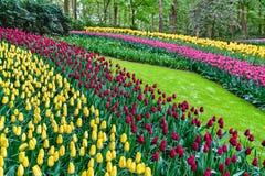 Färgrika tulpan på Keukenhofen, Nederländerna Royaltyfria Foton