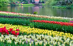 Färgrika tulpan på Keukenhofen, Nederländerna Fotografering för Bildbyråer
