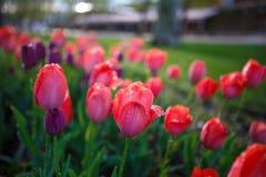 Färgrika tulpan på våren Arkivbild