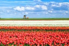 Färgrika tulpanfält i Alkmaar Arkivbild