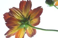 färgrika tusenskönablommor Royaltyfri Bild
