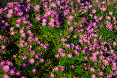 färgrika tusenskönor Fotografering för Bildbyråer