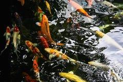 Färgrika utsmyckade karpar simmar i vattnet Arkivbilder