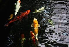 Färgrika utsmyckade karpar simmar i vattnet Royaltyfria Foton