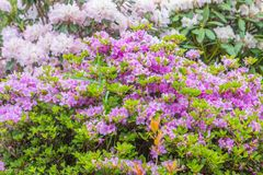 Färgrika vårblommor för buskar Fotografering för Bildbyråer