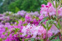 Färgrika vårblommor för buskar Royaltyfri Foto