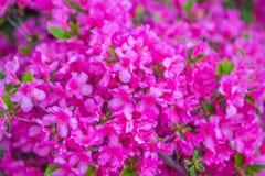 Färgrika vårblommor för buskar Royaltyfri Bild