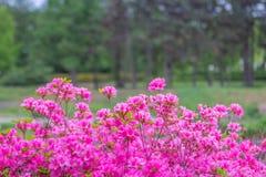 Färgrika vårblommor för buskar Arkivbilder