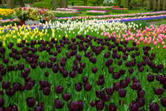 Färgrika vårblomsterrabatter med svarta tulpan Arkivfoton