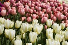 Färgrika vårtulpanfält Royaltyfri Bild