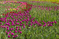 Färgrika vårtulpanfält Royaltyfri Fotografi
