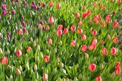 Färgrika vårtulpanfält Arkivbild