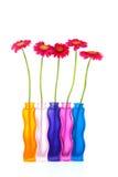 färgrika vases för blommagerberpink Royaltyfri Bild