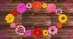 Färgrika Zinia blomstrar på trä royaltyfri fotografi