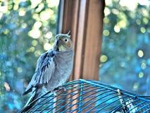 Färgrikt älsklings- fågelsammanträde på dess bur fotografering för bildbyråer