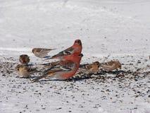 Färgrikt äta för vinterfåglar Royaltyfria Foton