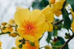 Färgrikt av den Supannika blomman, Cochlospermum regium Royaltyfri Fotografi