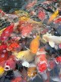 Färgrikt av den utsmyckade karpen som konkurrerar för mat royaltyfri bild